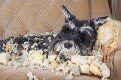 Το άτακτο κακό σκυλί κουταβιών schnauzer βρίσκεται σε έναν καναπέ που κατέστρεψε μόλις στοκ εικόνες