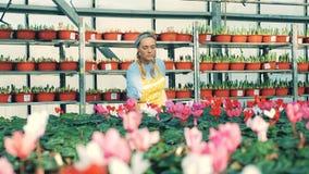 Το ανθίζοντας λουλούδι παίρνει ψεκασμένο από μια γυναίκα εργαζόμενος απόθεμα βίντεο