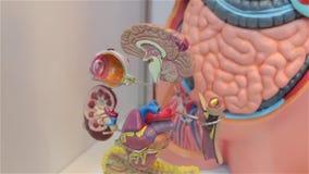 Το ανθρώπινο πρότυπο εγκεφάλου απόθεμα βίντεο