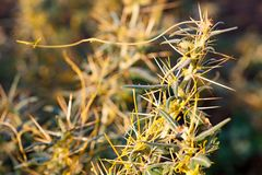 Το γένος Cuscuta Dodder είναι παρασιτικό και συνολικά εξαρτώμενο από άλλες φυτών ξενιστών για την επιβίωση στοκ εικόνες