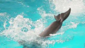 Το εκπαιδευμένο δελφίνι κολυμπά απόθεμα βίντεο