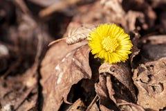 Το κίτρινο λουλούδι αυξήθηκε από κάτω από την πέτρα την πρώιμη άνοιξη, οι πρόωρες ανθίσεις άνοιξη του κάνοντας σήμα θερμότερου κα στοκ εικόνα με δικαίωμα ελεύθερης χρήσης