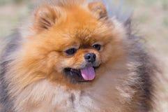 Το κίτρινο σκυλί Pomeranian, κολλά τη γλώσσα σας έξω, κινηματογράφηση σε πρώτο πλάνο στοκ εικόνα με δικαίωμα ελεύθερης χρήσης