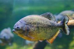 Το κόκκινος-διογκωμένο piranha, επίσης γνωστό ως κόκκινο nattereri Pygocentrus piranha, είναι ένα είδος piranha εγγενές στη Νότια στοκ εικόνες