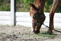 Το κόκκινο άλογο τρώει τη χλόη από το έδαφος στοκ εικόνες