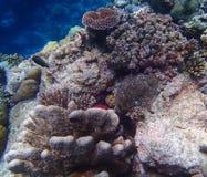 Το κόκκινο τροπικό ψάρι κρυφοκοιτάζει από την ποικιλία των κοραλλιών στο σκόπελο στοκ εικόνα