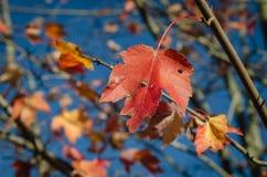 Το κόκκινο φύλλο και ο μπλε ουρανός στοκ φωτογραφίες