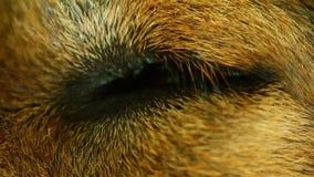 Το μάτι σκυλιών έκλεισε τη μακρο κινηματογράφηση σε πρώτο πλάνο έπειτα ανοίγματος φιλμ μικρού μήκους