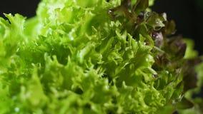 Το μαρούλι Fillie iceburg hydroponics στο αγρόκτημα, μετακινείται τον πυροβολισμό φιλμ μικρού μήκους