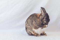 Το μικρό γκρίζο και άσπρο κουνέλι λαγουδάκι εμφανίζεται να προσεύχεται με τα πόδια μαζί και το λαιμό που κάμπτεται ελαφρώς στοκ εικόνες με δικαίωμα ελεύθερης χρήσης