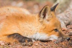 Το νέο κόκκινο κουτάβι αλεπούδων σκύβει στο δασικό πάτωμα στοκ φωτογραφίες με δικαίωμα ελεύθερης χρήσης