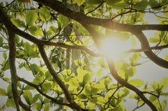 Το δέντρο βγάζει φύλλα με τον ήλιο στο υπόβαθρο στοκ εικόνες