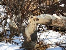 Το δέντρο μάσησε πρόσφατα έτοιμο να μεταφερθεί στο κρησφύγετο καστόρων στοκ εικόνα με δικαίωμα ελεύθερης χρήσης