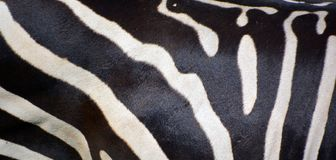 Το δέρμα Zebras είναι διάφορα είδη αφρικανικών equids στοκ φωτογραφία με δικαίωμα ελεύθερης χρήσης