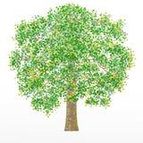 Το δρύινο δέντρο στο άσπρο υπόβαθρο Η απεικόνιση μπορεί να χρησιμοποιηθεί ως λογότυπο και ταπετσαρία απεικόνιση αποθεμάτων