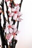 Το ροζ λουλουδιών δαμάσκηνων αίματος στους σκοτεινούς κλάδους, άνθισε πρόσφατα, μπροστά από ένα ελαφρύ υπόβαθρο και copyspace στο στοκ εικόνα