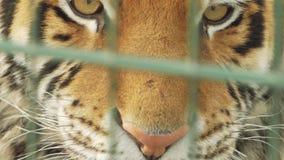 Το ρύγχος της κινηματογράφησης σε πρώτο πλάνο τιγρών amur πίσω από το δικτυωτό πλέγμα απόθεμα βίντεο