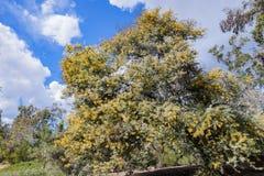 Το όμορφο άνθος chinchillensis ακακιών (wattle τσιντσιλά) στοκ εικόνα με δικαίωμα ελεύθερης χρήσης
