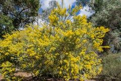 Το όμορφο άνθος chinchillensis ακακιών (wattle τσιντσιλά) στοκ φωτογραφίες με δικαίωμα ελεύθερης χρήσης
