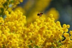 Το όμορφο άνθος chinchillensis ακακιών (wattle τσιντσιλά) στοκ εικόνες με δικαίωμα ελεύθερης χρήσης