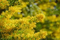 Το όμορφο άνθος chinchillensis ακακιών (wattle τσιντσιλά) στοκ φωτογραφία με δικαίωμα ελεύθερης χρήσης