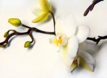 Το όμορφο άσπρο λουλούδι ορχιδεών απομόνωσε το μπλε υπόβαθρο στοκ φωτογραφία με δικαίωμα ελεύθερης χρήσης
