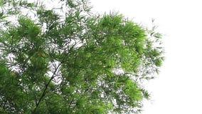 Το όμορφο μπαμπού αφήνει την κίνηση και θυελλώδης πέρα από την ταλάντευση που πράσινο χρώμα στο δάσος φύσης απόθεμα βίντεο