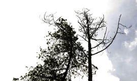 Το όμορφο φυσικό τοπίο, δασικό, μαύρο φύλλο ουρανού δέντρων πεύκων διακλαδίζεται, περιπέτεια στοκ εικόνες με δικαίωμα ελεύθερης χρήσης