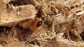 Το σκουλήκι κανθάρων του κανθάρου scarab είναι επικίνδυνο παράσιτο εντόμων με borer δέντρων μάγκο Rufomaculata Batocera για την κ απόθεμα βίντεο