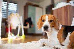 Το σκυλί λαγωνικών βρίσκεται στο καθιστικό στο πάτωμα κοιτάζοντας προς τη κάμερα στοκ φωτογραφία