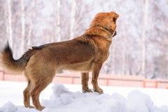 Το σκυλί παίζει στο χιόνι Κόκκινο σκυλί που τρέχει στο χιόνι σκυλί εύθυμο Ένα κατοικίδιο ζώο παίζει έξω το χειμώνα στοκ φωτογραφία με δικαίωμα ελεύθερης χρήσης