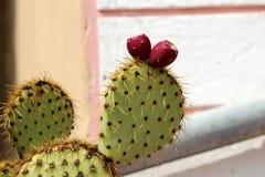 Το σύκο ή Opuntia Βαρβαρίας ficus-Indica με δύο φρέσκα καφετιά φρούτα και τις λιγοστές βελόνες μπροστά από το άσπρο κεραμίδι στεγ στοκ φωτογραφίες