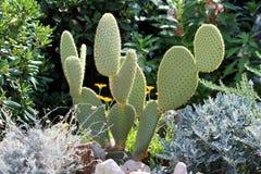 Το σύκο ή Opuntia Βαρβαρίας ficus-Indica με τις λιγοστές βελόνες περιέβαλε με το πολλαπλάσιο άλλες λουλούδια και εγκαταστάσεις κή στοκ φωτογραφία με δικαίωμα ελεύθερης χρήσης