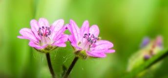 Το σχέδιο εμβλημάτων χρωματίζει την άνοιξη με ένα πολύ μικρό ρόδινο λουλούδι σε ένα πράσινο υπόβαθρο - των μικρός-ανθισμένων pusi στοκ εικόνα