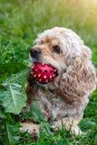 Το σπανιέλ κόκερ κάθεται στη χλόη με τη σφαίρα στο στόμα Παιχνίδι σκυλιών με τη σφαίρα στοκ εικόνες