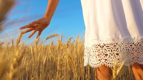 Το φιλικό προς το περιβάλλον κορίτσι συγκομιδών σίτου στο άσπρο φόρεμα πηγαίνει στον τομέα του ώριμου σίτου, τα χέρια του κοριτσι απόθεμα βίντεο