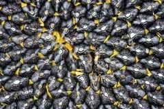 Το φυσικό υπόβαθρο τροφίμων με την κινηματογράφηση σε πρώτο πλάνο σύστασης του τέλεια ώριμου συνόλου ηλίανθων του Μαύρου επέλεξε  στοκ εικόνες