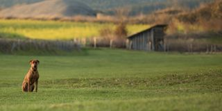 Το υπερήφανο σκυλί Rhodesian Ridgeback κάθεται σε ένα όμορφο τοπίο σε μια αγροτική περιοχή στοκ εικόνα