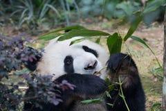 Το πορτρέτο του γιγαντιαίου panda, το melanoleuca Ailuropoda, ή η Panda αντέχουν Κλείστε επάνω του γιγαντιαίου panda που βρίσκετα στοκ εικόνες