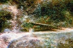 Το πορτρέτο των χαριτωμένων ψαριών Blenny, κλείνει επάνω στοκ εικόνες με δικαίωμα ελεύθερης χρήσης