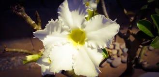 Το Adenium γνωστό επίσης ως έρημος αυξήθηκε είναι ένας αειθαλής ή ξηρασία-αποβαλλόμενος succulent θάμνος, ανθίζει έτος γύρω στοκ εικόνα με δικαίωμα ελεύθερης χρήσης