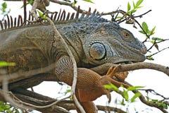 Το Iguana έκρυψε μεταξύ του φυλλώματος στοκ φωτογραφία με δικαίωμα ελεύθερης χρήσης