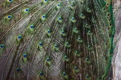 Το peacock παρουσιάζει την ουρά, το peacock παρουσιάζει τα φτερά, τακτοποιεί την ερωτοτροπία, μάτι Peacock στοκ εικόνα