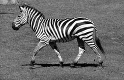 Το Zebras είναι διάφορα είδη αφρικανικών equids στοκ φωτογραφία με δικαίωμα ελεύθερης χρήσης