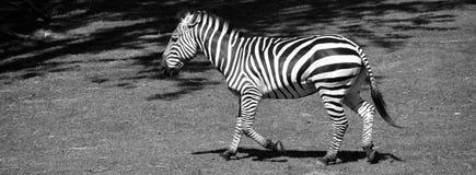 Το Zebras είναι διάφορα είδη αφρικανικών equids στοκ φωτογραφία