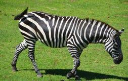 Το Zebras είναι διάφορα είδη αφρικανικών equids στοκ φωτογραφίες