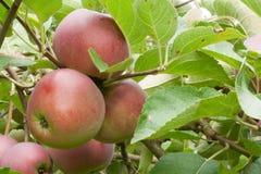 Τρία κόκκινα ώριμα μήλα στον κλάδο στοκ φωτογραφία με δικαίωμα ελεύθερης χρήσης