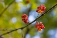 Τρία λουλούδια του euonymus σε έναν κλάδο ενάντια στο φύλλωμα στοκ εικόνες