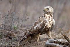 Τραχύς-με πόδια καρακάξα, lagopus Buteo, στάσεις σε έναν σπασμένο κλάδο στοκ φωτογραφίες