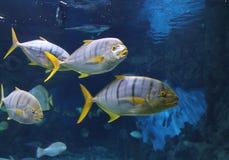 Τροπικά μεγάλα ψάρια σε ένα μεγάλο ενυδρείο στοκ εικόνες